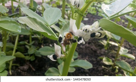 Black and white broad bean flowers with a bumble bee