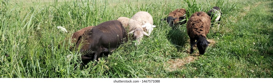 Black, white, and brown Katahdin hair sheep grazing in field of green grass