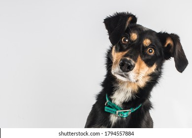 black white and brown terrier dog pet portrait with intense stare on white background