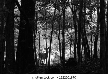 Black and white of a buck in the early dawn at the edge of the forest staring with mist in the back ground