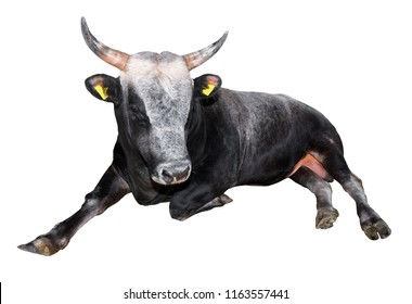 Black and white bull lying isolated on a white background. Black and white big bull close up. Farm animal.