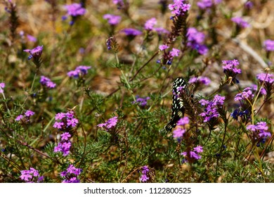 Black and white Butterfly flapping his wings in the field full of purple flowers