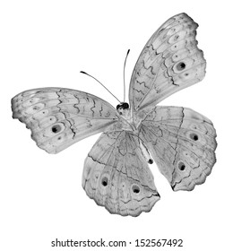 Black and white Butterfly (Grey Pansy) color transparency isolated on white background