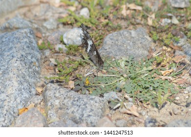 Black and white butterfly on the ground among stones