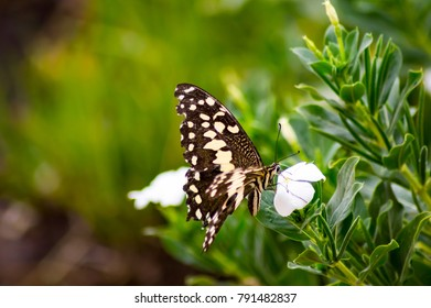 Black and white butterfly on a pink flower in the Masai Mara Park in Kenya