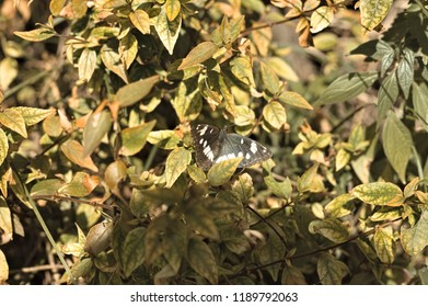 Black and white butterfly on the plant leaves (Marche, Italy, Europe)