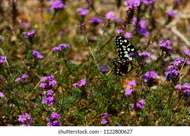 Black and white Butterfly sitting on purple flowers in the field