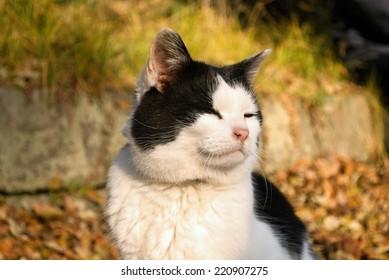 A black white cat