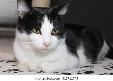 BEAUTIFUL BLACK WHITE CAT GOLD EYES Stock Photo (Edit Now)- Shutterstock