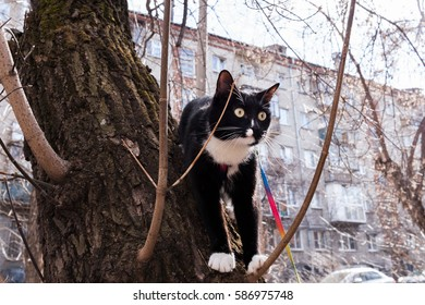 Black and white cat with breast-band is sitting in tree on dwelling house background in early spring.