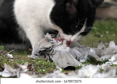 Black and white Cat eats a pigeon that has just hunted, prey of the cat lost the battle and got killed, Feline predator eating a bird, remaining the wings and the tail