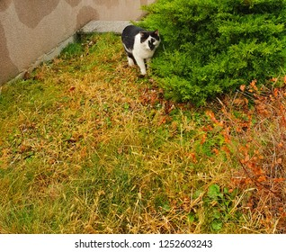 black and white cat with black and white face around a green bush