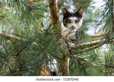 Black and white cat up high on a pine tree, looking in the camera