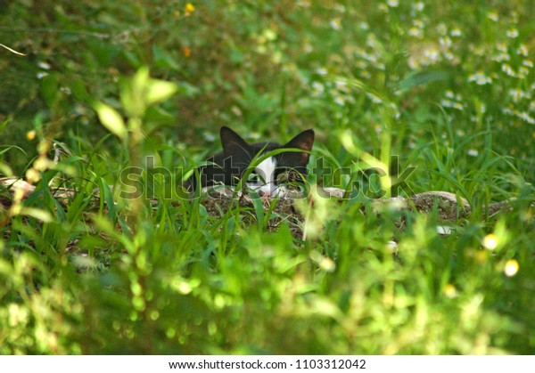 Black and white cat hunting prey in an Italian garden