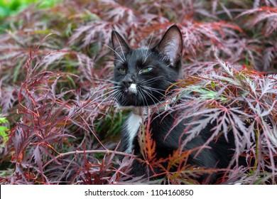 Black white cat hunting under acer tree in garden