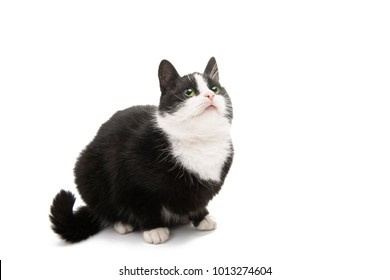 black and white cat isolated on white background