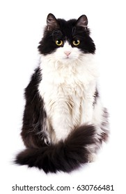 Black and white cat isolated on white