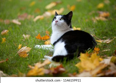 black and white cat is lying on the lawn surrounded by yellow maple leafs in autumn, he is looking up to the sky