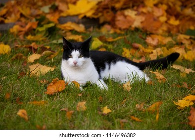 black and white cat is lying on the lawn in the garden while autumn, surrounded by yellow-brown maple leaves, he is looking a bit annoyed or tired