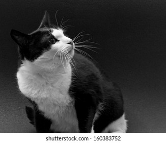 black and white cat on a dark background in profile