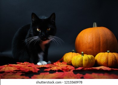 Black and white cat with pumpkins sitting in autumn leaves. Halloween.  October . Red October.