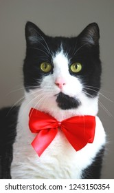 black and white cat with a red bow
