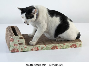The black and white cat sharpening claws on the scratching post on white background