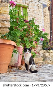 The black and white cat sits by the flowerpot with blooming geranium on the stone paved street of Pano Lefkara village. Cyprus