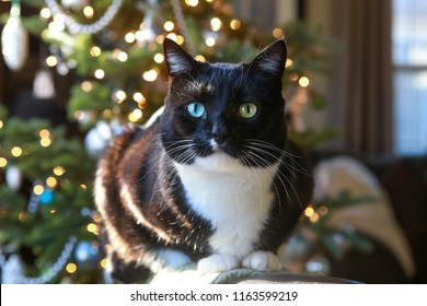 Black and white cat sitting in the sunlight at Christmas