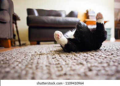 Black and White cat sleeping on his back on carpet, shallow focus on paw