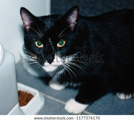 black and white cat staring at the camera intently while eating.