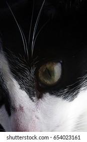 black and white cat staring eye