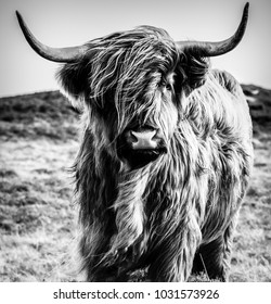 Black and White Cattle