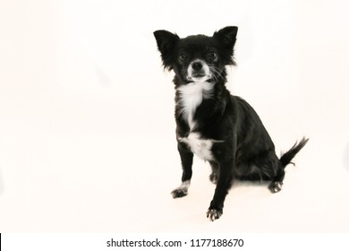 Black and white chihuahua dog with ears sticking up  sitting on a white background