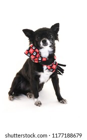 Black and white chihuahua dog with ears sticking up wearing a skull scarf, sitting on a white background