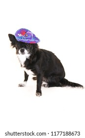 Black and white  chihuahua dog wearing a Mexican sombrero, sitting   on a white background