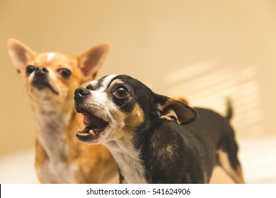 Black and white chihuahua with mouth open, looking intently. Younger chihuahua in background.