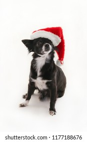 Black and white chihuahua wearing a red festive holiday  Christmas hat with one ear sticking out on a white background