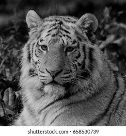 Black and white close up of an Amur tiger face, relaxing in the grass showing its beautiful stripes. With space for text.