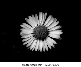 Black and white close up of a daisy