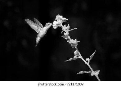 Black and white close up of hummingbird in flight feeding on flower nectar