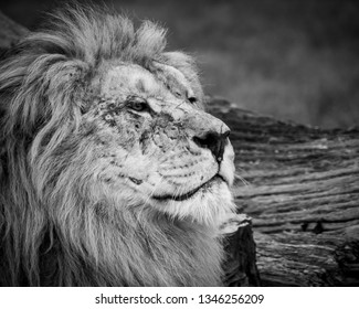 Black and white close up image of a majestic, battle-scarred male lion's face