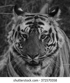 A black and white close up of a Male Bengal Tiger.Image taken at Bandhavgarh national park in the state of Madhya Pradesh,India. Scientific name- Panthera Tigris