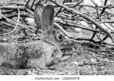 Black and white close up photograph of a cottontail bunny laying down, this cotton tail rabbit is native to the Sonoran desert and was seen in Pima county, Tucson, Arizona. Summer of 2018.