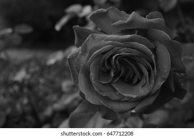 Black and white close up of red rose