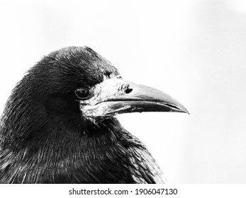 black and white close up shot of crow