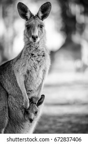 Black and white close up shot of a kangaroo with her baby (joey) in her pouch.