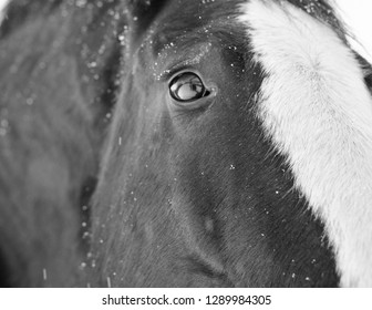 Black and White Closeup of a Clydesdale horse during a snow storm in Alberta Canada