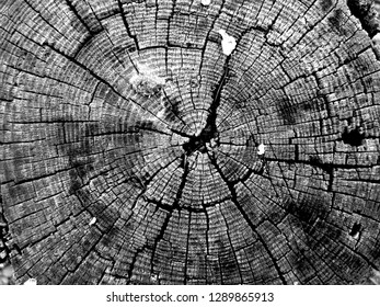 Black and White Closeup of the Fissured Cut Face of an Old Tree
