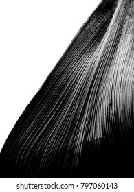 black and white closeup macro of a vertical leaf kept diagonally with sharp contrasting lines running along it having dark to bright color transition from top to down. Placed on a white background